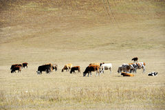 Cattle on the prairie Stock Photography