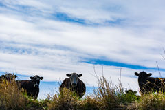 Cattle on the Prairies Royalty Free Stock Images