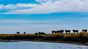 Cattle on the Prairies Royalty Free Stock Photography