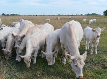 Cattle on the prairy Royalty Free Stock Photography