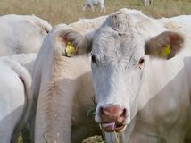 Cattle on the prairy stock photography