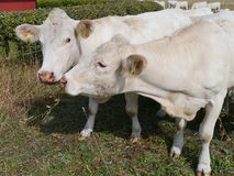 Cattle on the prairy stock images