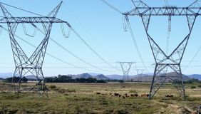 Cattle and pylons. A herd of cattle grazing in a field of electricity pylons near Rawsonville Road - Western Cape, South Africa Royalty Free Stock Photos