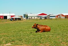 Cattle Ranch. A cow sits in the pasture in front of the barns and farm buildings Stock Photo