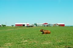Cattle Ranch. A cow sits in the pasture in front of the barns and farm buildings Stock Photos