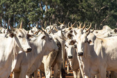 Cattle on ranch. A group of nelore cattle on ranch in Sao Paulo state Stock Image