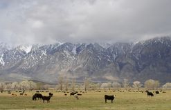 Cattle Ranch and Mountains. Cattle on a ranch beneath the eastern Sierra Nevada Mountains in California Stock Image
