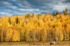 A cattle is in the rangeland Royalty Free Stock Photo
