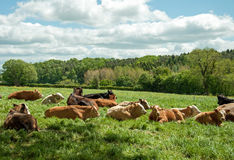 Cattle relaxing in a Herefordshire meadow. A herd of cattle enjoying some summer sunshine Royalty Free Stock Images