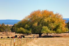 Cattle rest under tree Stock Image