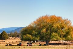 Cattle rest under tree Royalty Free Stock Photos