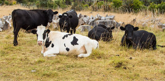 Cattle Resting Royalty Free Stock Image