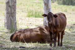 Cattle resting beneath Gum Trees Royalty Free Stock Photo