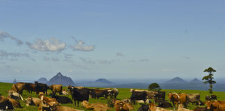Cattle resting in front of Glasshouse Mountains, Sunshine Coast, Queensland, Australia. Royalty Free Stock Photography