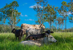 Cattle in long green grass under a shady tree with blue sky. Royalty Free Stock Images