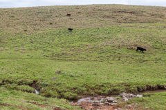Cattle in Rio Grande do Sul Brazil Royalty Free Stock Photos