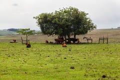 Cattle in Rio Grande do Sul Brazil Royalty Free Stock Photos