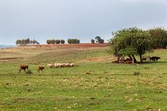Cattle in Rio Grande do Sul Brazil Stock Image