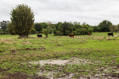 Cattle in Rio Grande do Sul Brazil Stock Photo