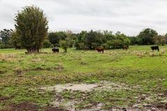 Cattle in Rio Grande do Sul Brazil Stock Photo