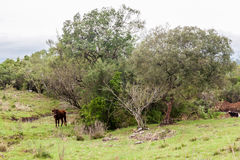 Cattle in Rio Grande do Sul Brazil Royalty Free Stock Photo