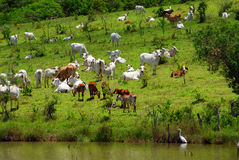 Cattle and river. A farm with cattle, pasture and river royalty free stock photography