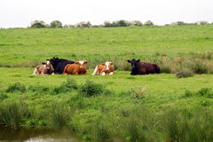 Cattle by river Royalty Free Stock Photography