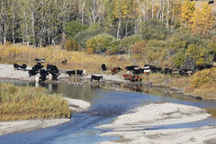 Cattle River. A herd of cattle drink from a mountain stream in Montana Stock Photography