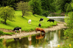 River Cattle, Lancashire. Part of a herd of cattle,led by the old bull, coming down to drink the clear waters of the River Ribble, at Clitheroe in Lancashire royalty free stock images