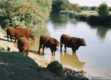Cattle at the riverside Stock Image