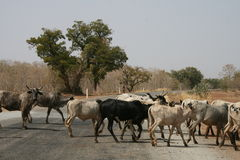 Cattle on the road Stock Image