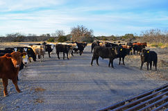 Cattle on Road Stock Photo