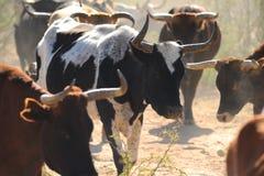 Free Cattle Roaming On Arizona Land Stock Images - 128643314