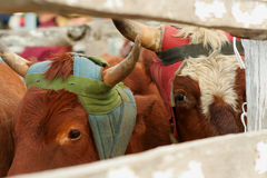 Cattle at the Rodeo. Cattle, bulls in a pen waiting to released, chased down and roped Royalty Free Stock Photo