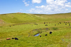 Cattle on Rolling Hills. Cattle graze on green, rolling hills around a small pond in California's Central Coast region Stock Photos