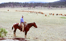 Cattle Roundup Royalty Free Stock Photo