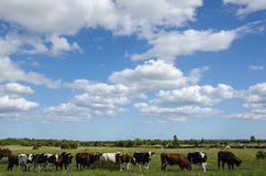 Cattle in a row at a fence Royalty Free Stock Photo