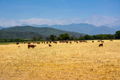 Cattle ruminating in the field at the base of the Andes. Royalty Free Stock Image