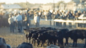 Cattle Run Event (Archival 1950s) stock footage