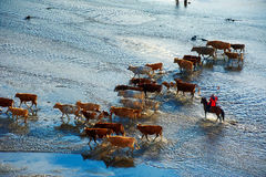 The cattle and running hardman in river sunset Stock Images