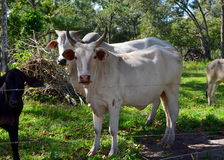 Cattle in Rural Belize Stock Photography