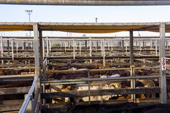 Cattle in sales pens. Pens of beef cattle at Roma sales yards waiting for auction in outback Queensland, Australia Stock Photography