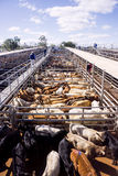 Cattle in sales pens. Pens of beef cattle at Roma sales yards waiting for auction in outback Queensland, Australia Stock Images