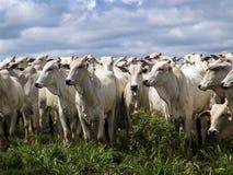 Cattle Stock Photos