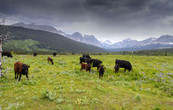 Cattle in scenic landscape Royalty Free Stock Image