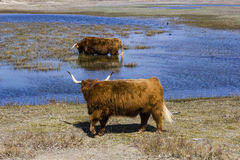 Cattle scottish Highlanders, Zuid Kennemerland, Netherlands Stock Photography