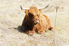 Cattle scottish Highlanders, Zuid Kennemerland, Netherlands Royalty Free Stock Image