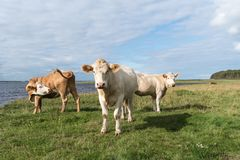 Cattle by seaside. Courious cattle by seaside at the swedish island Oland royalty free stock photo