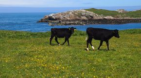Cows at seaside. Young black calves on the Welsh Isle of Anglesey in front of the Irish sea near the fishing village of Cemaes Stock Photography