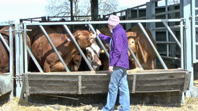 Cattle shed stock video footage